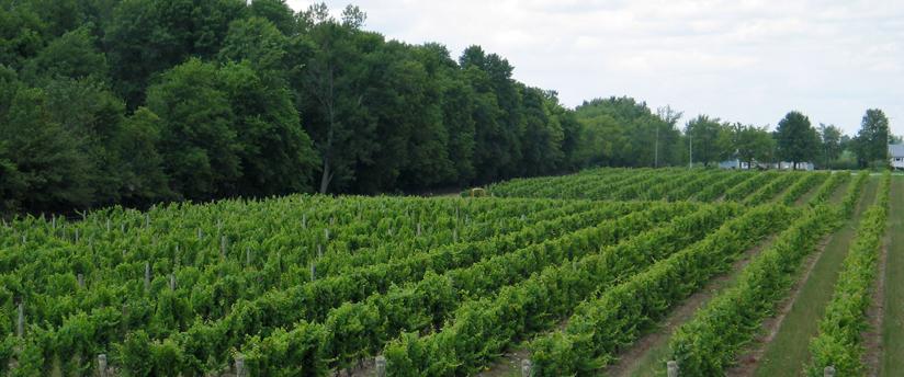 Vineyard-Treeline-1